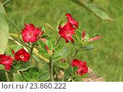 Красные цветы. Стоковое фото, фотограф Ирина Садовская / Фотобанк Лори