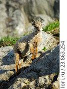 Купить «Capricorn, Ibex, Capra ibex, Switzerland», фото № 23863254, снято 4 июля 2016 г. (c) age Fotostock / Фотобанк Лори