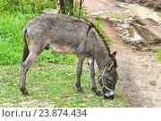 Купить «Домашний осёл (Equus asinus) пасётся близ дороги», эксклюзивное фото № 23874434, снято 15 июля 2016 г. (c) Алёшина Оксана / Фотобанк Лори