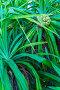 Pandanus palm (Pandanus amaryllifolius), дерево с фруктами, Мальдивы, фото № 23875078, снято 12 февраля 2006 г. (c) Ростислав Агеев / Фотобанк Лори