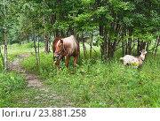 Купить «Лошадь и коза пасутся», эксклюзивное фото № 23881258, снято 15 июля 2016 г. (c) Алёшина Оксана / Фотобанк Лори
