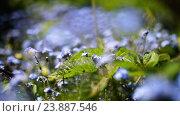 Купить «Myosotis is flowering plant, family Boraginaceae», видеоролик № 23887546, снято 7 мая 2016 г. (c) BestPhotoStudio / Фотобанк Лори