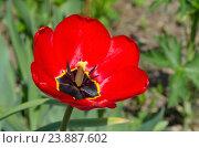 Купить «Красный тюльпан (лат. Tulipa)», эксклюзивное фото № 23887602, снято 9 мая 2016 г. (c) Елена Коромыслова / Фотобанк Лори