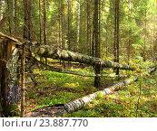 Поваленные деревья в лесу. Стоковое фото, фотограф Елена Утенкова / Фотобанк Лори