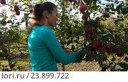 Купить «Девушка собирает урожай яблок», видеоролик № 23899722, снято 1 октября 2016 г. (c) Kozub Vasyl / Фотобанк Лори