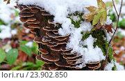 Купить «Polypore mushrooms on tree trunk», видеоролик № 23902850, снято 21 октября 2016 г. (c) Serg Zastavkin / Фотобанк Лори