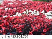 Красная и белая бегония в летнем парке. Стоковое фото, фотограф Ирина Садовская / Фотобанк Лори