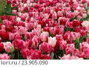 Белые и розовые тюльпаны в парке. Стоковое фото, фотограф Елена Антипина / Фотобанк Лори