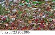 Купить «Red leaves panoramic video under heavy snowfall at late Autumn and early Winter in Siberia», видеоролик № 23906906, снято 23 октября 2016 г. (c) Serg Zastavkin / Фотобанк Лори