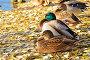 Утки сидят на берегу озера осенью, фото № 23908222, снято 19 октября 2016 г. (c) Надежда Нестерова / Фотобанк Лори