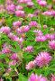 Розовый клевер, фото № 23924590, снято 17 июля 2016 г. (c) Надежда Нестерова / Фотобанк Лори