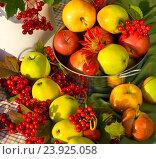 Красочный осенний натюрморт с яблоками и калиной. Стоковое фото, фотограф Елена Лобовикова / Фотобанк Лори