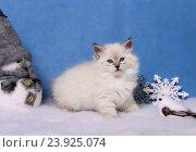 Купить «Сибирский котенок, новогодняя тема для открытки», фото № 23925074, снято 17 января 2016 г. (c) ElenArt / Фотобанк Лори