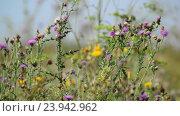 Купить «Thistle in the meadow in summer», видеоролик № 23942962, снято 25 октября 2016 г. (c) Володина Ольга / Фотобанк Лори
