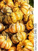Купить «Sweet Lightning Microwave cucurbita pumpkin pumpkins from autumn harvest on a market», фото № 23948150, снято 24 февраля 2019 г. (c) easy Fotostock / Фотобанк Лори