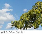 Купить «Ветка альбиции ленкоранская или акации шелковой (лат. Albizia julibrissin) с семенными коробочками на фоне голубого неба», фото № 23973842, снято 17 сентября 2016 г. (c) Наталья Гармашева / Фотобанк Лори