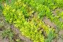 Листовой салат на грядке, фото № 23984386, снято 4 июня 2016 г. (c) Елена Коромыслова / Фотобанк Лори