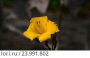 Купить «Yellow daylily flower in flowerbed», видеоролик № 23991802, снято 22 июля 2016 г. (c) Володина Ольга / Фотобанк Лори
