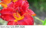 Купить «red terry daylily flower in flowerbed», видеоролик № 23991826, снято 24 июля 2016 г. (c) Володина Ольга / Фотобанк Лори