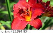 Купить «scarlet terry daylily flower in flowerbed», видеоролик № 23991834, снято 24 июля 2016 г. (c) Володина Ольга / Фотобанк Лори