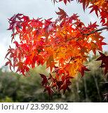 Красивые ветки клена с осенними листьями. Стоковое фото, фотограф Koba Samurkasov / Фотобанк Лори