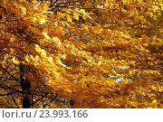 Купить «Золото осени», эксклюзивное фото № 23993166, снято 29 октября 2016 г. (c) Svet / Фотобанк Лори