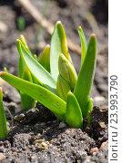 Всходы гиацинта (лат. Hyacinthus) крупным планом. Стоковое фото, фотограф Елена Коромыслова / Фотобанк Лори