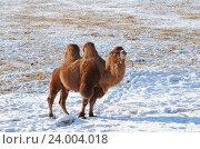 Купить «Двугорбый верблюд в снежной монгольской степи», фото № 24004018, снято 3 декабря 2015 г. (c) Юлия Батурина / Фотобанк Лори
