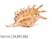 тропическая раковина морского моллюска изолировано на белом фоне. Стоковое фото, фотограф Tamara Kulikova / Фотобанк Лори