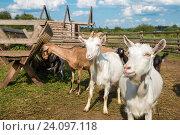 Купить «Козы едят корм на ферме в солнечный летний день», фото № 24097118, снято 11 августа 2016 г. (c) Pukhov K / Фотобанк Лори