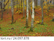 Осень в лесу, фото № 24097878, снято 29 октября 2016 г. (c) александр жарников / Фотобанк Лори