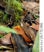 Toad, Brachicéfalos, Serra do Mar State park, Núcleo Santa Virgínia, São Paulo, Brazil. Стоковое фото, фотограф Laurent Guerinaud / age Fotostock / Фотобанк Лори