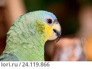 Bird, Parrot-pity-swamp, parrot-Greek, curica, Vassouras, Maranhão, Brazil. Стоковое фото, фотограф Laurent Guerinaud / age Fotostock / Фотобанк Лори