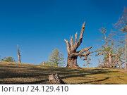 Купить «Россия,  Азия, Иркутская область, озеро Байкал, остров Ольхон. Ландшафт острова с деревьями, изувеченными молниями летних гроз и суровыми байкальскими ветрами.», эксклюзивное фото № 24129410, снято 5 июля 2016 г. (c) Александр Циликин / Фотобанк Лори