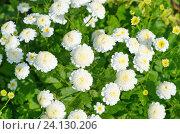 Купить «Белые мелкие хризантемы в саду», эксклюзивное фото № 24130206, снято 2 июля 2016 г. (c) Елена Коромыслова / Фотобанк Лори