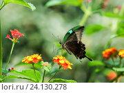 Купить «Дневная тропическая бабочка Парусник Палинур (лат. Papilio palinurus) на  цветке лантаны (лат. Lantana)», фото № 24130278, снято 18 сентября 2012 г. (c) Наталья Гармашева / Фотобанк Лори
