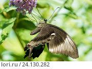 Купить «Дневная Тропическая бабочка Парусник Палинур (лат. Papilio palinurus) висит на цветке Буддлеи Давида, или изменчивой (лат. Buddleja davidii)», фото № 24130282, снято 18 сентября 2012 г. (c) Наталья Гармашева / Фотобанк Лори