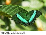 Купить «Дневная тропическая бабочка Парусник Палинур (лат. Papilio palinurus)», фото № 24130306, снято 18 сентября 2012 г. (c) Наталья Гармашева / Фотобанк Лори