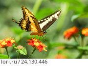 Купить «Дневная тропическая бабочка парусник тоас (лат. Papilio Thoas) собирает нектар на ярких цветах лантаны  (лат. Lantana)», фото № 24130446, снято 18 сентября 2012 г. (c) Наталья Гармашева / Фотобанк Лори