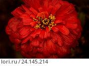Красная мокрая цинния. Стоковое фото, фотограф Сотникова Кристина / Фотобанк Лори