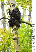 Купить «Гриб чага на стволе березы (Betula pendula)», фото № 24147178, снято 23 октября 2016 г. (c) Ирина Борсученко / Фотобанк Лори