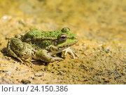 Купить «Зеленая лягушка прудовая (lat.  Pelophylax lessonae) на песке», фото № 24150386, снято 19 сентября 2012 г. (c) Наталья Гармашева / Фотобанк Лори