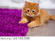 Купить «Красивый рыжий котенок», фото № 24150598, снято 6 ноября 2016 г. (c) Наталья Быстрая / Фотобанк Лори