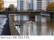 Лебеди и чайки в Преголе, Калининград (2016 год). Стоковое фото, фотограф Ксения Семенова / Фотобанк Лори
