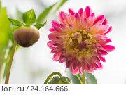 Розовый цветок георгин. Стоковое фото, фотограф Ирина Мещерякова / Фотобанк Лори