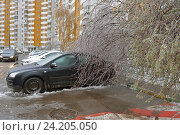Купить «Последствия ледяного дождя. Дерево под тяжестью ледяной корки упало на легковой автомобиль. Митино», фото № 24205050, снято 11 ноября 2016 г. (c) Валерия Попова / Фотобанк Лори