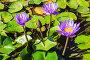 Три цветка сиреневых лотоса в пруду, фото № 24206446, снято 2 ноября 2016 г. (c) Наталья Волкова / Фотобанк Лори