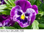 Купить «Фиалка трехцветная (лат. Viola tricolor), или анютины глазки крупным планом», фото № 24208738, снято 29 мая 2016 г. (c) Елена Коромыслова / Фотобанк Лори