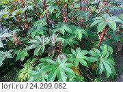 Клещевина обыкновенная (Ricinus communis) Стоковое фото, фотограф виктор химич / Фотобанк Лори