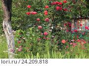Купить «Красивый цветник на даче», эксклюзивное фото № 24209818, снято 28 июня 2016 г. (c) Ирина Водяник / Фотобанк Лори